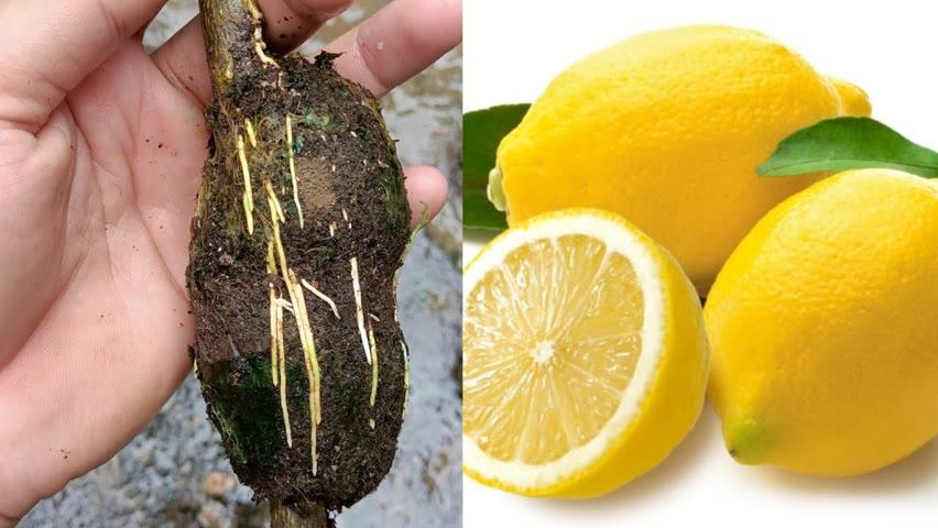 How to grow Lemon tree ,Lemon tree Air Layering ,How to propagate Lemon Tree From air layering