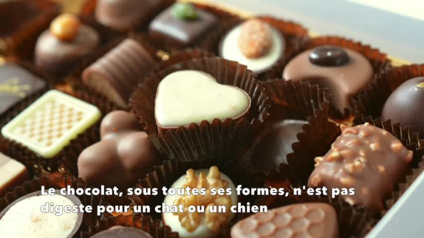 Pourquoi il ne faut jamais donner de chocolat à mon animal ?