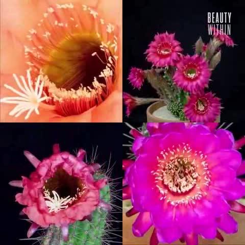 Conoce las hermosas flores de Echinopsis