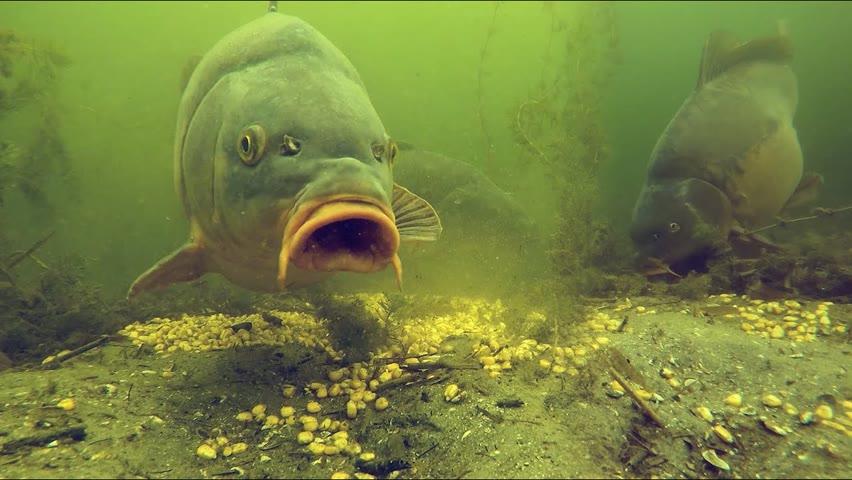 Underwater: Big carp eating corn