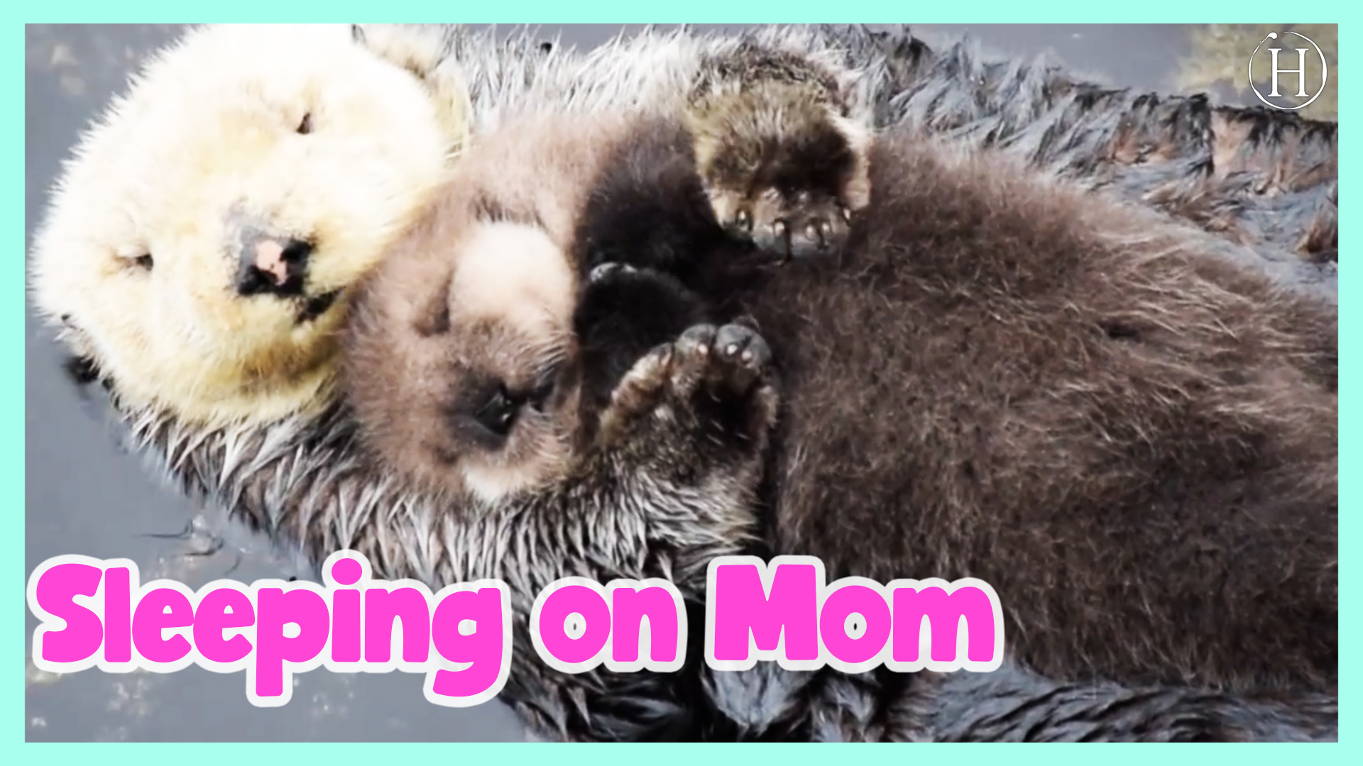 1 Day Old Sea Otter Pup Trying to Sleep on Mom | Humanity Life