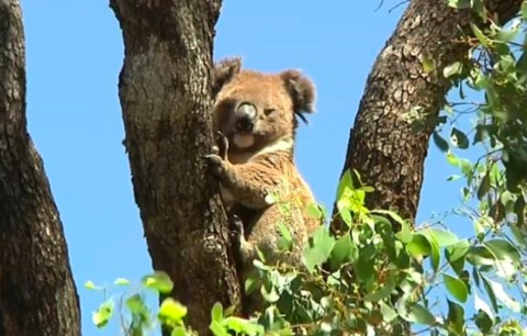 New South Wales Announces Plan to Protect Koala Population With Largest Financial Package Yet