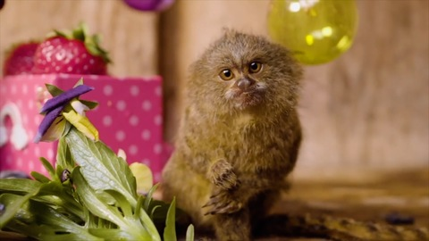Tiny pygmy marmoset babies Lucia and Luna celebrated their first birthday update 2