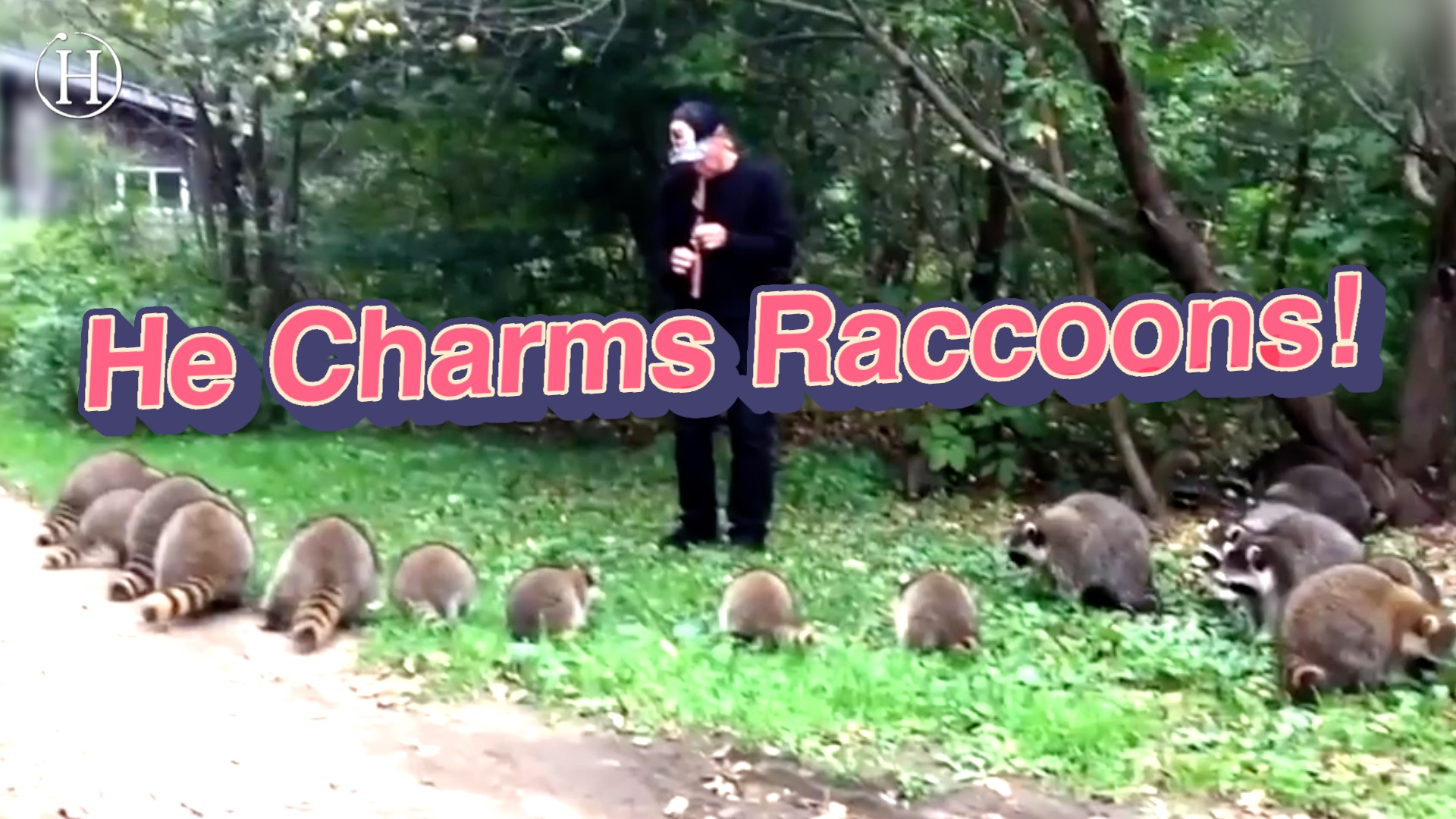 This Man Is the Pied Piper of Raccoons | Humanity Life