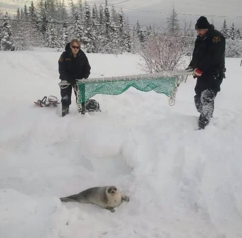 Canada un village appelle à l'aide face à une invasion de phoques