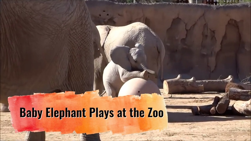 Baby Elephant Plays at the Zoo