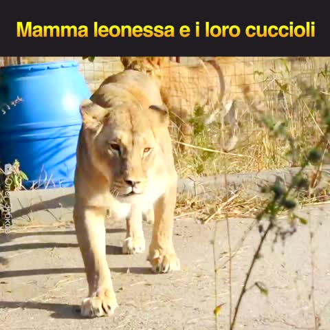 Mamma leonessa e i loro cuccioli