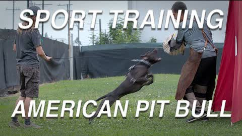TRAINING DAY: AMERICAN PIT BULL TERRIERS
