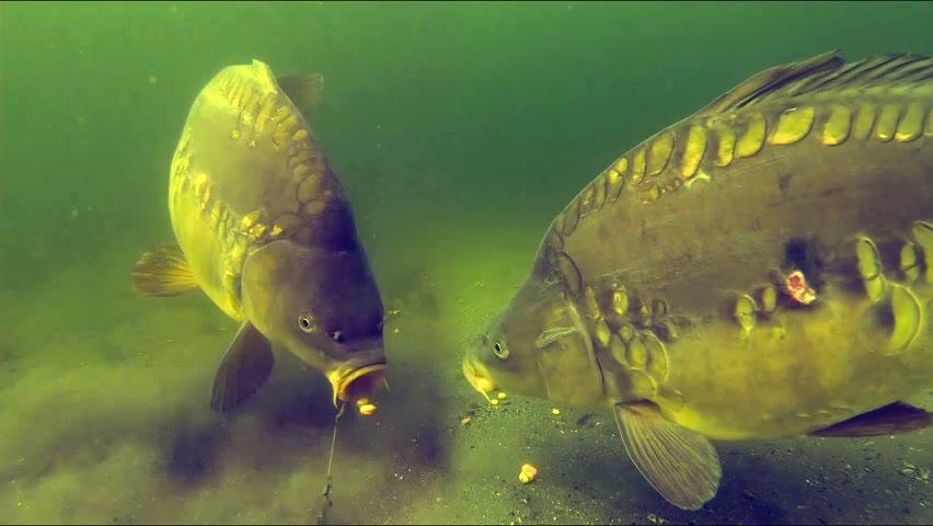Catching carp underwater PART 2 (High quality)