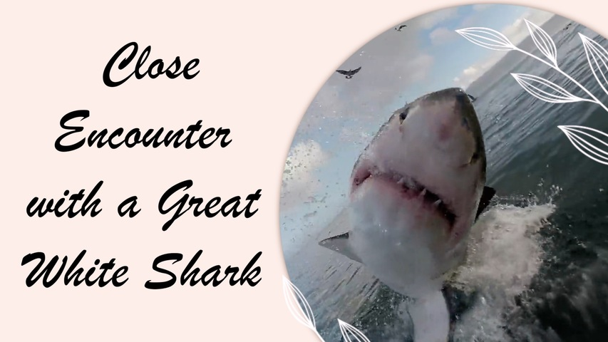 Close Encounter with a Great White