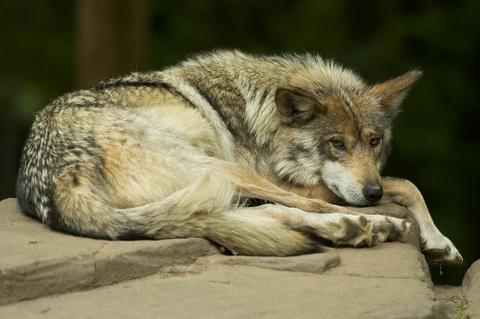 Lobo gris mexicano se encuentra al borde de la extinción