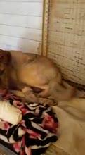 Perrito héroe sufre quemaduras muy graves para salvar a su familia de un incendio feroz