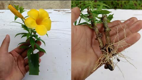 How to grow Allamanda from Cuttings ,Easiest way to grow Allamanda ,how to grow allamanda plant