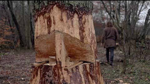 Cutting down big tree with axe - how to
