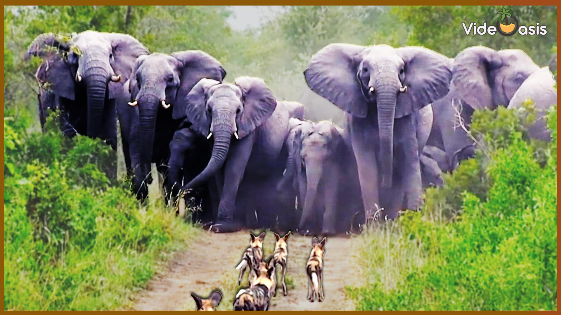 Elephants |VideOasis