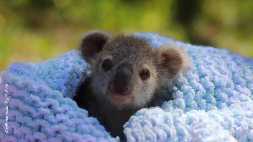 Koala Joey Elsa Melts Hearts at Australian Zoo as Keepers Forced to Intervene in Her Care