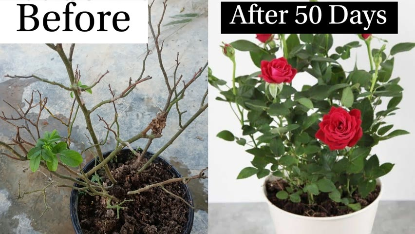 Rose Plant Care | How to Care Unhealthy Rose Plant | Best way to Care Rose Plant 100% Successful