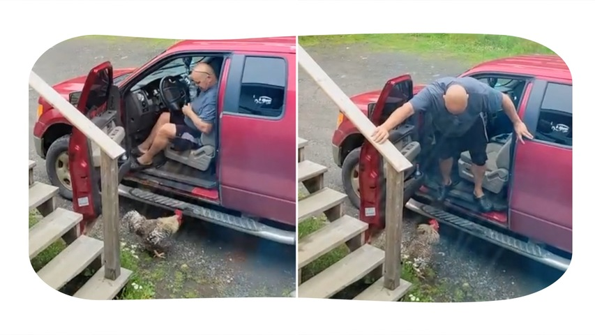 Crazy Rooster Attacks Man When He Tries to Get Out of His Vehicle