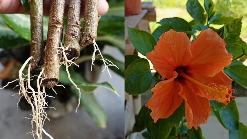 How to grow hibiscus   Easiest Way To Grow Hibiscus Plant   how to grow hibiscus plant at home