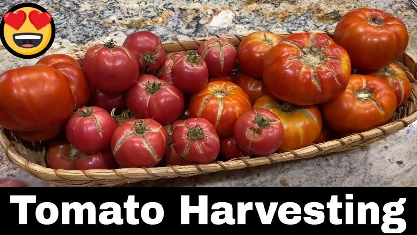 Tomato Harvesting 2021