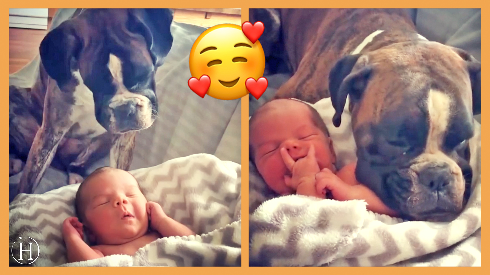 Adorable Boxer Gets Baby Brother | Humanity Life