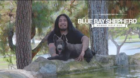 MY BEAUTIFUL BLUE BAY SHEPHERD PUPPY