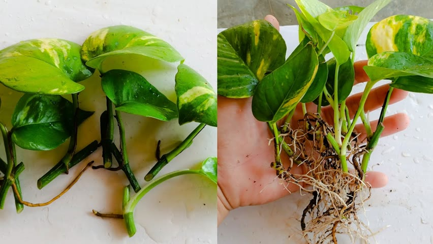 How to grow money plant ,Best way to grow money plant from cuttings ,How to grow money plant faster
