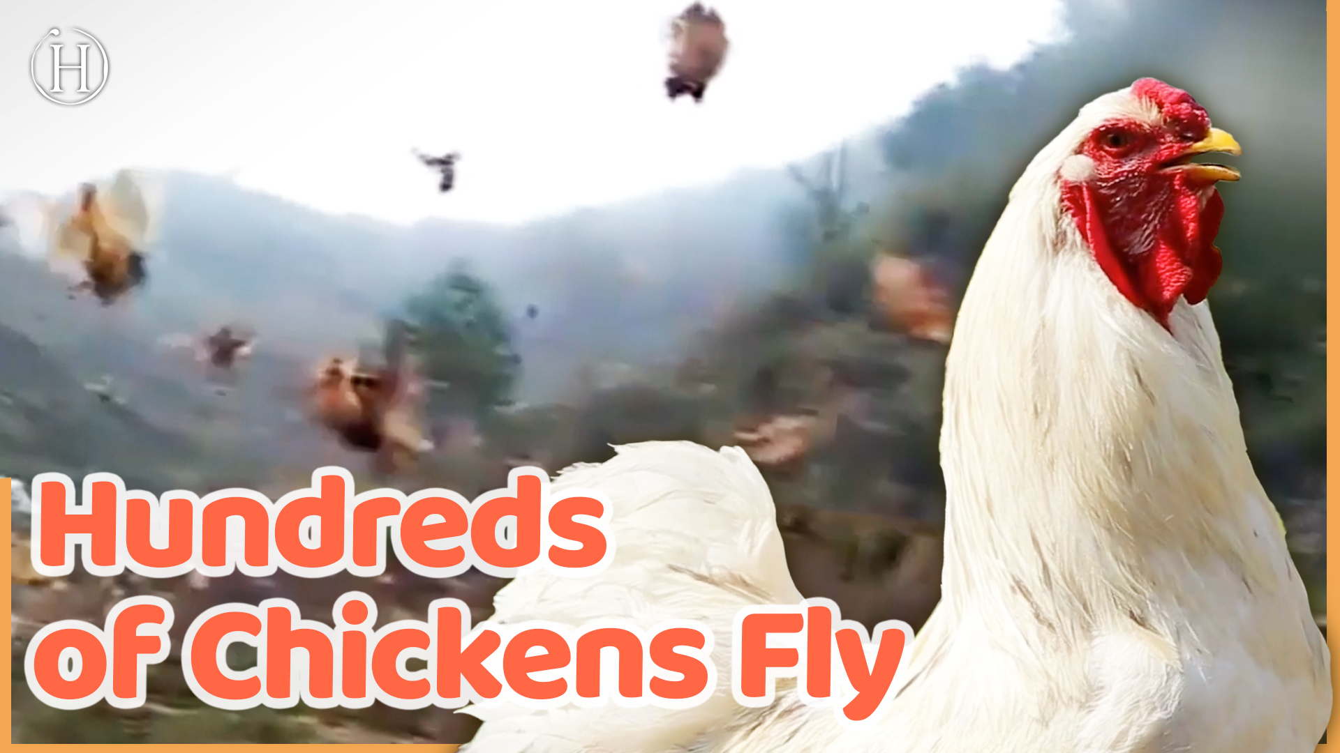 Farmer Conduct Flock of Hundreds of Chickens by Blowing Whistle | Humanity Life
