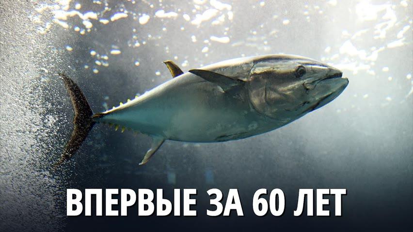 Голубого тунца заметили в британских водах