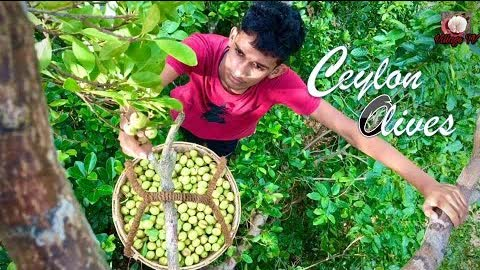 Pickled Ceylon Olives🍋Testy & Health Benefits Food / Village TV
