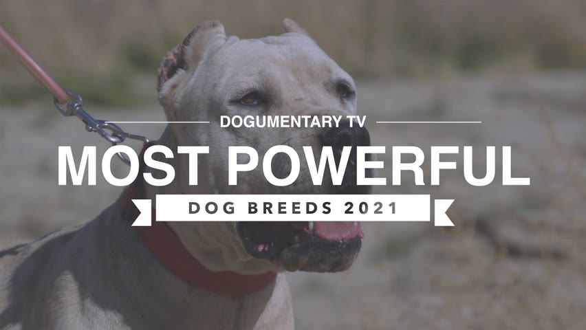TOP 10 MOST POWERFUL DOG BREEDS 2021