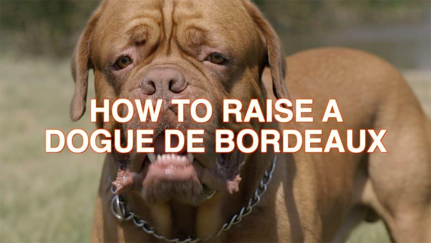 HOW TO RAISE A DOGUE DE BORDEAUX