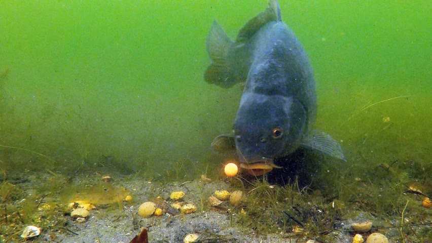 Do not use this rig like we did!? (carp and sturgeon underwater)