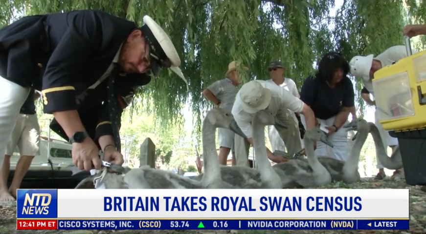 Britain Takes Royal Swan Census
