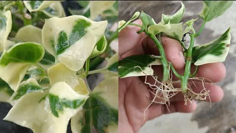 How to grow Ivy plant from cuttings,wax ivy/English Ivy Propagation tips ,How to grow English Ivy