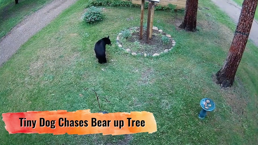Tiny Dog Chases Bear up Tree
