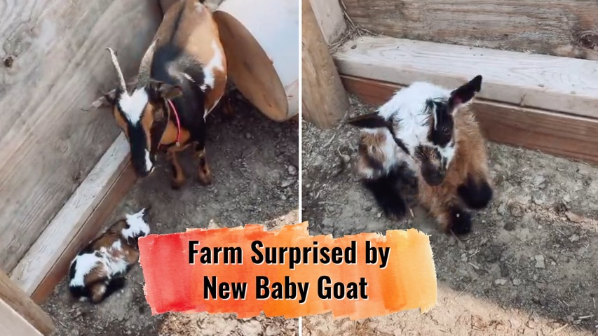 Farm Surprised by New Baby Goat