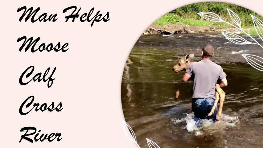 Man Helps Moose Calf Cross River