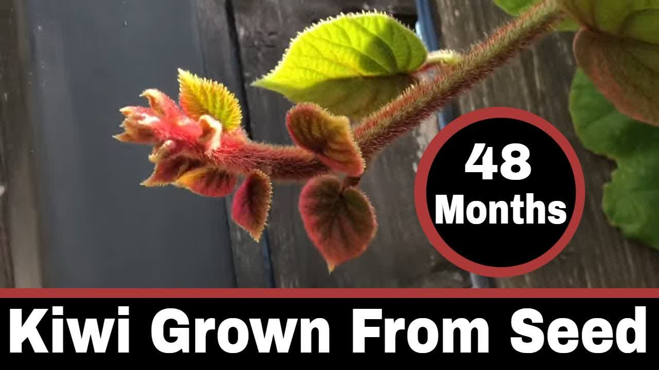 Kiwi Vines Grown From Seed - 48 Month Update