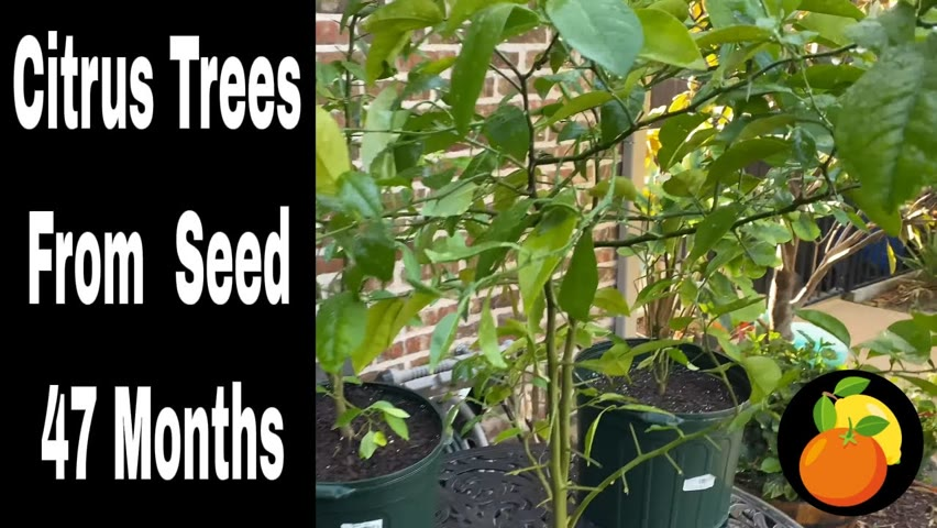 Growing Citrus Trees (Lemon and Orange) From Seed - 47 Months