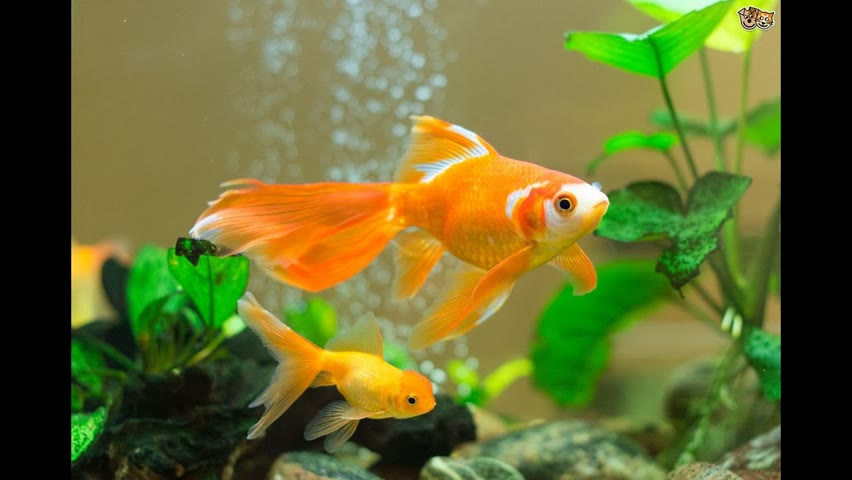 How to care for goldfish - Instructional Videos