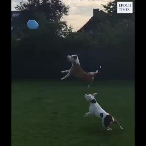 Ein Luftballon ist alles, was zwei Hunde brauchen