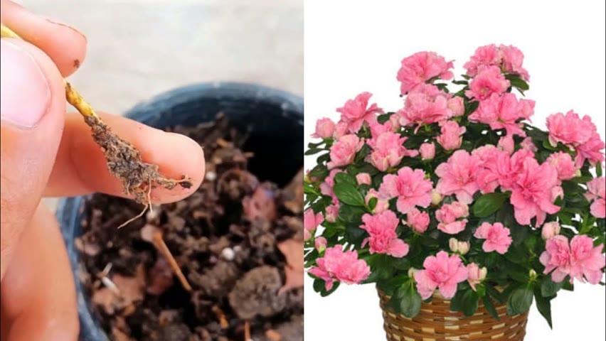 Azalea plant propagation | How to grow azalea plant from cuttings | Best way to grow Azalea plant